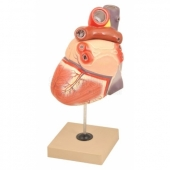 Model : Heart 2 Parts