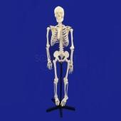 Model : Skeleton Large